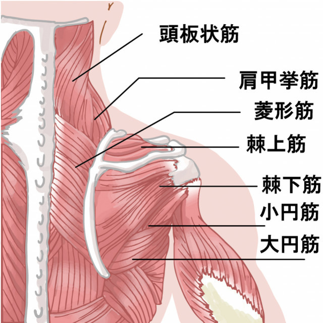肩周りの筋肉の画像