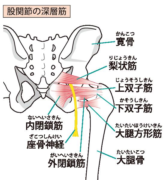 股関節周りの画像